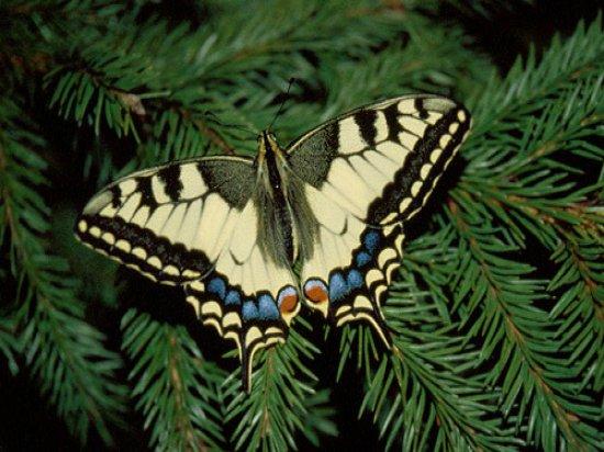 Крылья в размахе -9 см. Эти живые бабочки любимицы детских праздников.